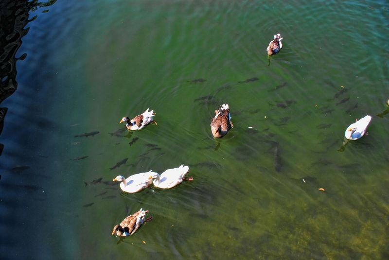 Ducks and fish at Nabão River, hoping for free food
