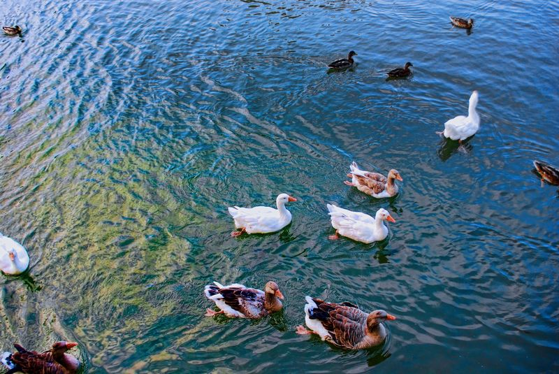 Different species of ducks in Tomar, Portugal