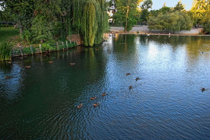 Ducks at Mouchão Park and Nabão River in the City of Tomar