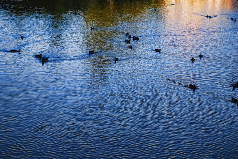 Ducks swimming at Nabão River in the City of Tomar