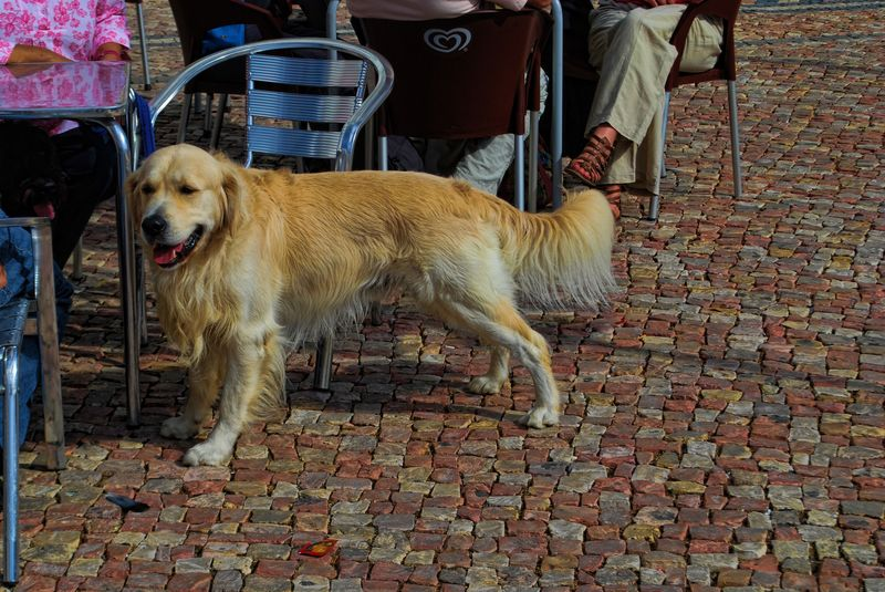 Female dog at Republic Square in the City of Tomar