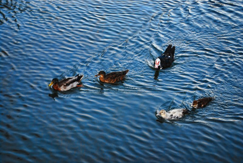 Flock of ducks at Nabão River in the City of Tomar in Portugal