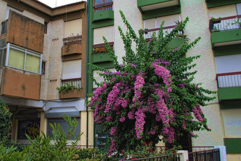 Bougainvillea at Travessa Fonte do Choupo in the City of Tomar in Portugal