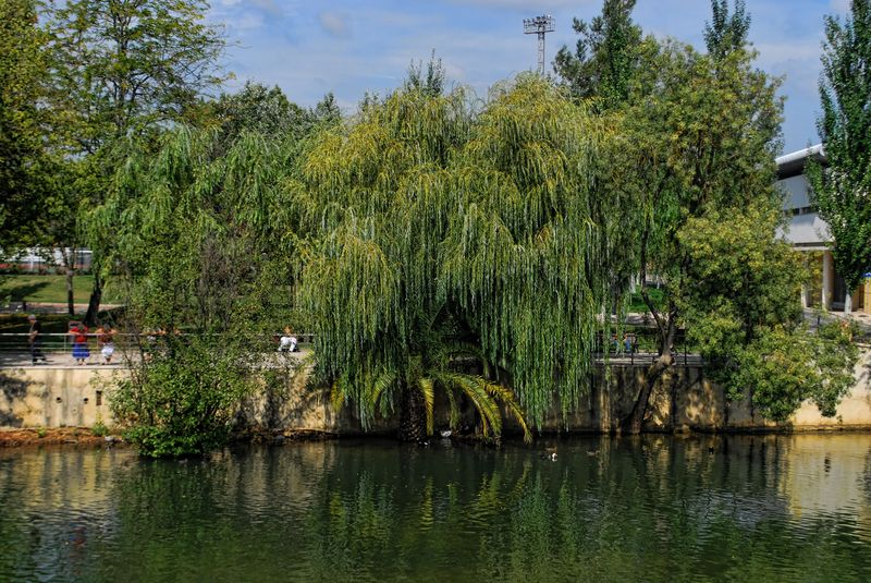 Willow trees at Nabão River in the City of Tomar in Portugal
